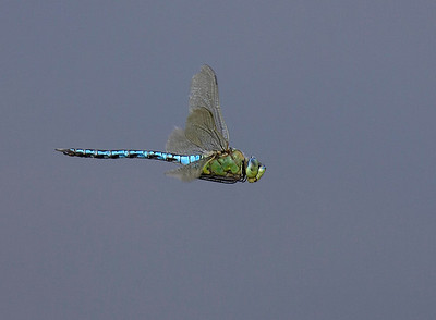 Emperor in flight