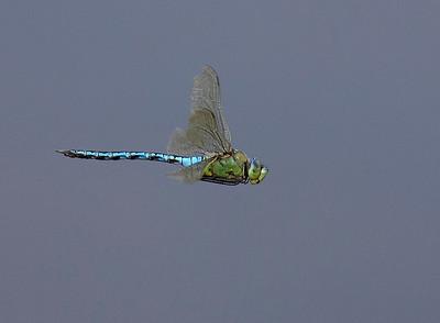 Emperor in flight