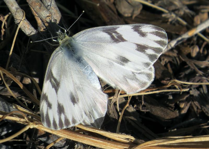 Checkered White (Pontia protodice)