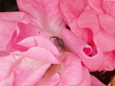 Little feller. A 6mm jumping spider  in the pink