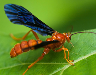 Parasitic Wasp. Lays eggs that hatch in swallowtail butterflies cocoons.