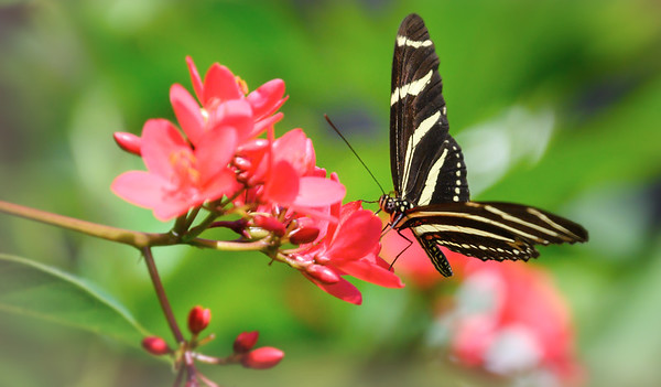 Zebra Longwing on Jatropha Bloom