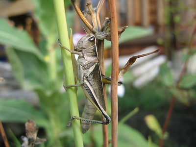 Early morning grasshopper, Birch Meadows Lodge, BC