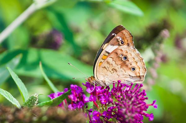 Buckeye on a Butterfly Bush