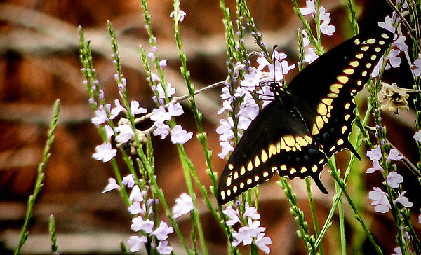 A black swallowtail (Papilio polyxenes) feeding on white vervain (Verbena urticifolia) flowers (IMG_1382)