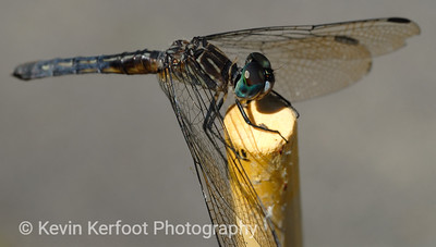 Dragonfly0023