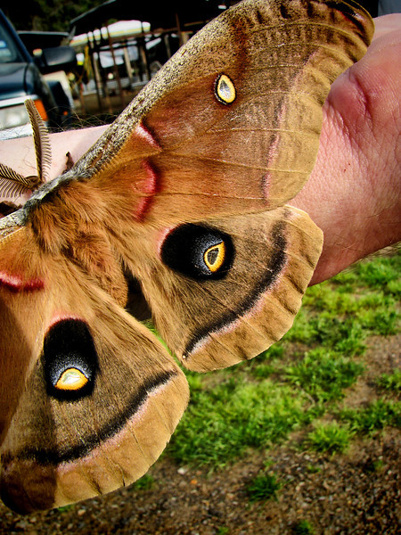 A male Polyphemus moth (Antheraea polyphemus) clinging to my arm (IMG_0202)