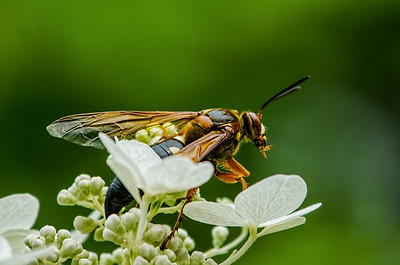 Wasp and White Flowers