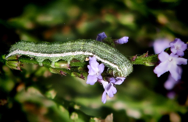 A larval pinion (Lithophane sp.) feeding on Texas vervain (Verbena halei) (20121103_04886)