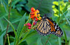 Monarch Butterfly, Wheaton, Maryland