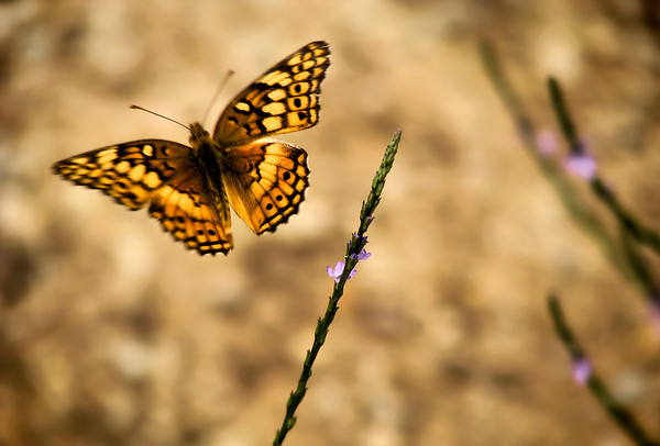 A variegated fritillary (Euptoieta claudia) in flight (IMG_3174)
