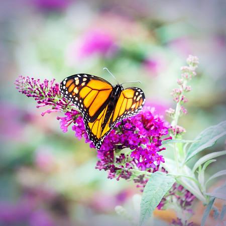 Monarch Butterfly Heart