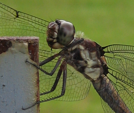 A dragonfly (206_0693)