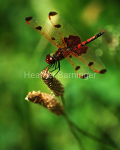 Mature Male Calico Pennant Dragonfly