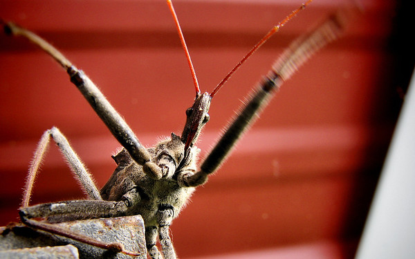 A wheel bug (Arilus cristatus) trying to climb onto the camera lens (20121012_04663)