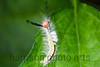 White Marked Tussock Caterpillar