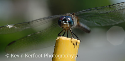 Dragonfly0011
