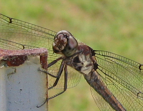 A dragonfly (206_0694)