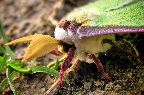 Close-up of a male luna moth (Actias luna) resting on the ground (IMG_0041_l)