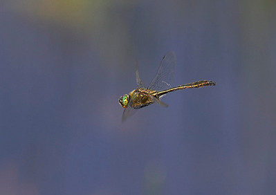 Four spotted chaser in flight