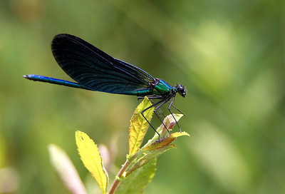 Beautifull demoiselle