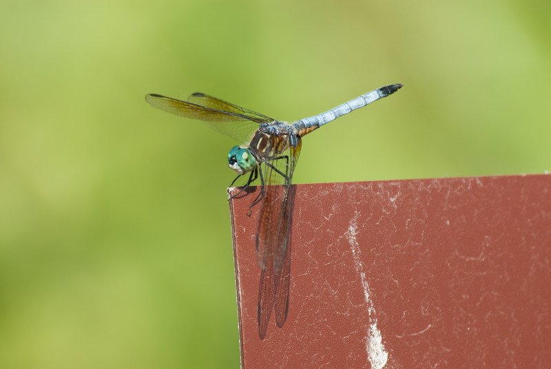 Dragon fly (10)