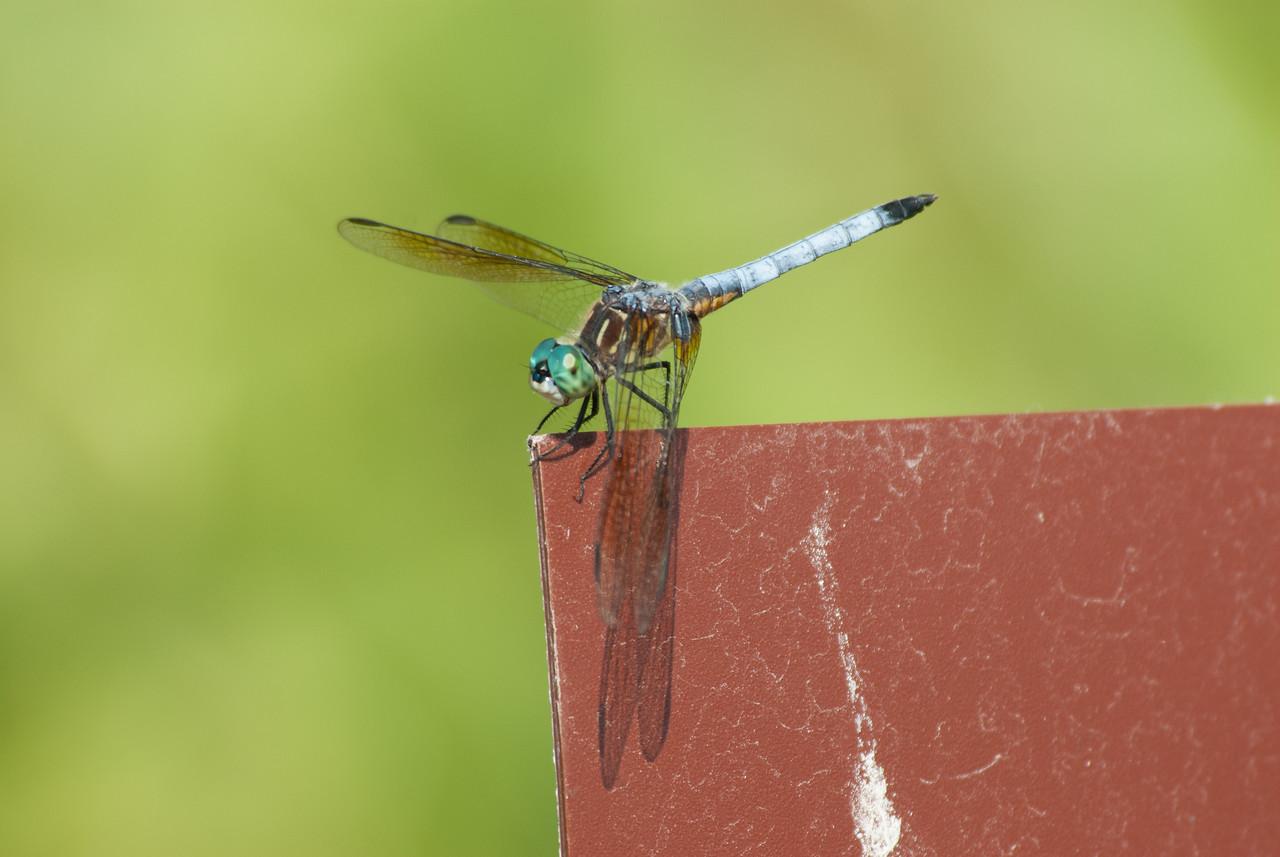 Dragon fly (10)