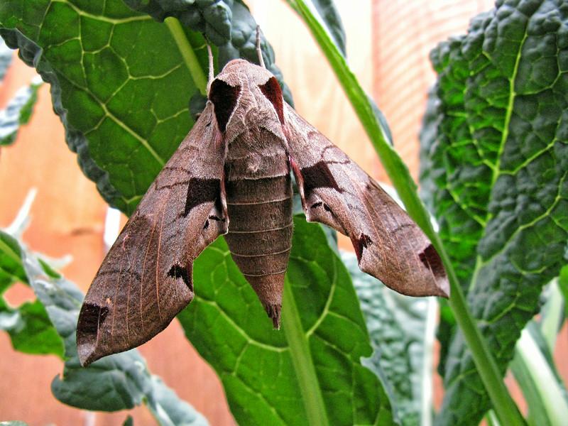 Achemon sphinx Moth (Eumorpha achemon)