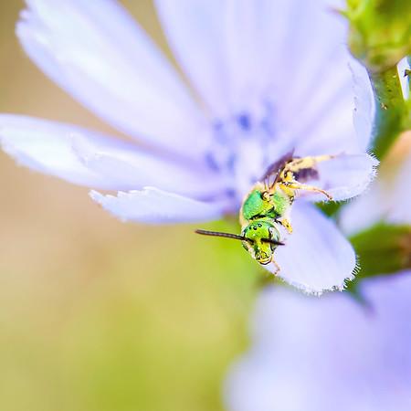 Tiny Green Bee on Chicory