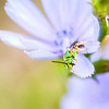 Tiny Green Bee on Chicory