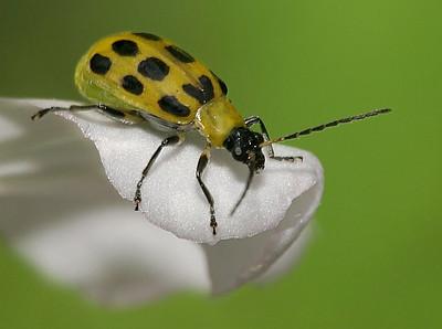cucumber beetle NPN 8413