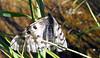 Clodius Parnassian (Parnassius clodius)
