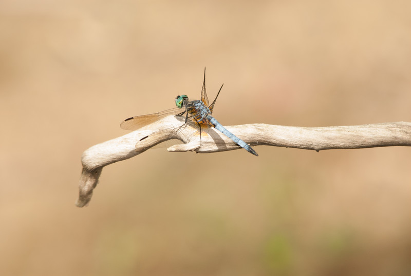 Dragon Fly (4)