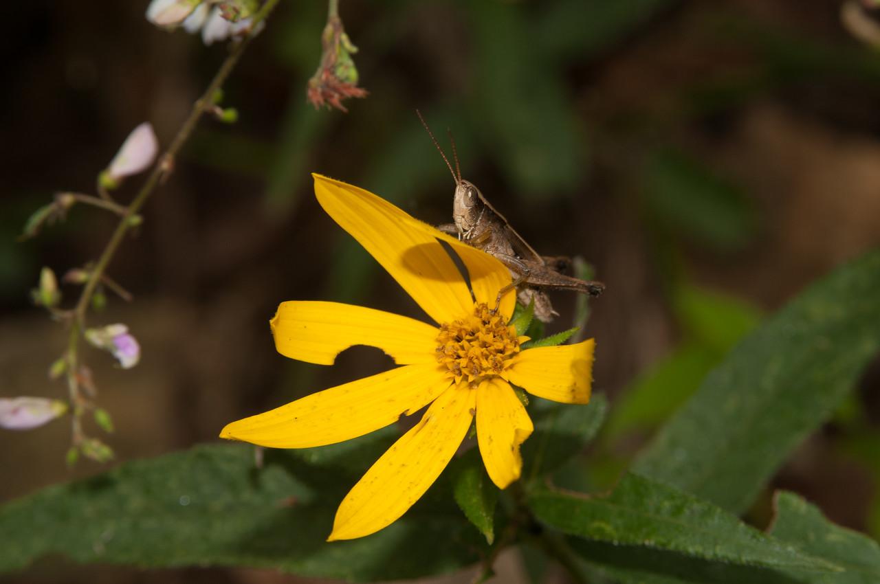 Grasshopper (3) - Norfork River Arkansas