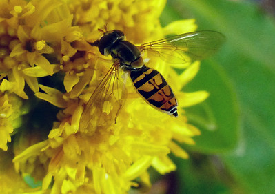 Hover Fly, species unknown