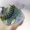 Caterpillar16x20_300dpi