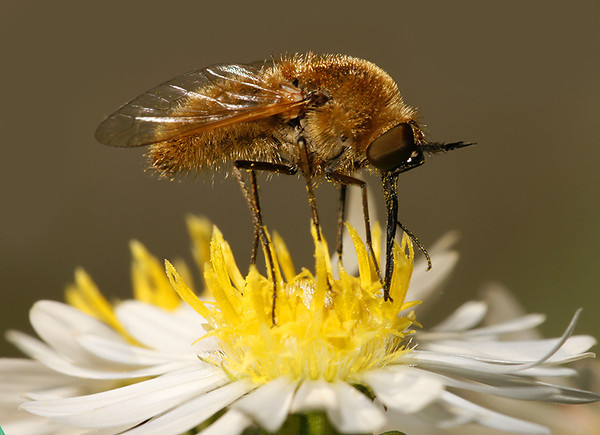 beefly-4115