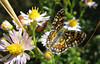 Best guess, Checkerspot - species unknown