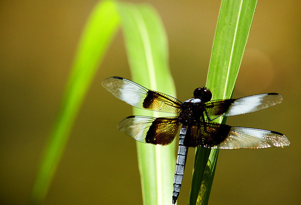 A widow skimmer (a.k.a. widow; Libellula luctuosa) on a blade of grass (2009_07_07_026195)
