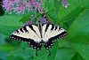 Zebra Swallowtail, Brookside Gardens, Wheaton, Maryland