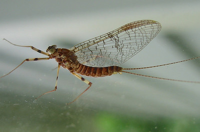 March Brown male spinner (Maccaffertium vicaruim) at home in 2010 (2 tails, banded legs, green eyes with dot in center)