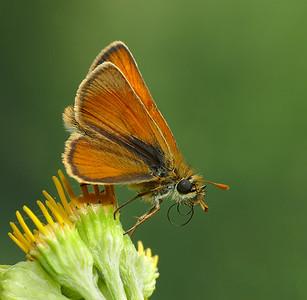 Small skipper butterfly.