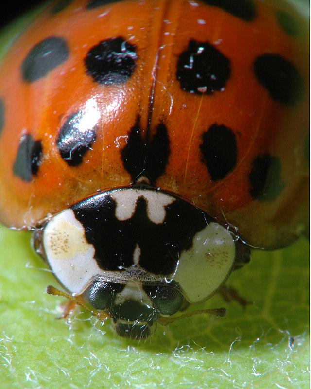 Ladybug, 2.8X