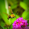 Hummingbird Moth on Butterfly Bush