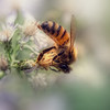 Honey Bee in the asters ... with a texture.