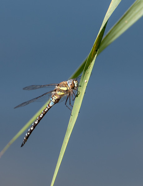 Female Common or Moorland Hawker Dragonfly (Aeschna juncea)