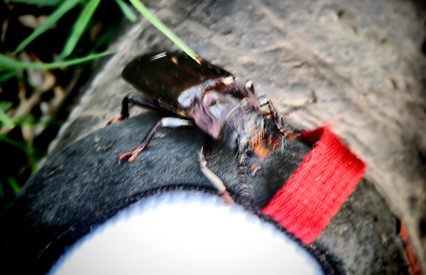 A hardwood stump borer (Mallodon dasystomus) crawling up my shoe (20120615_00345)