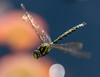 Common or Moorland Hawker Dragonfly (Aeschna juncea)