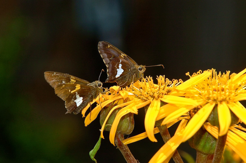 Silver-spotted Skippers, Rockville, Maryland