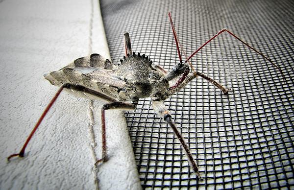 A wheel bug (Arilus cristatus) (20120625_00415)